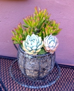 Succulent in Wire Cup