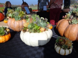 Fairytale pumpkins