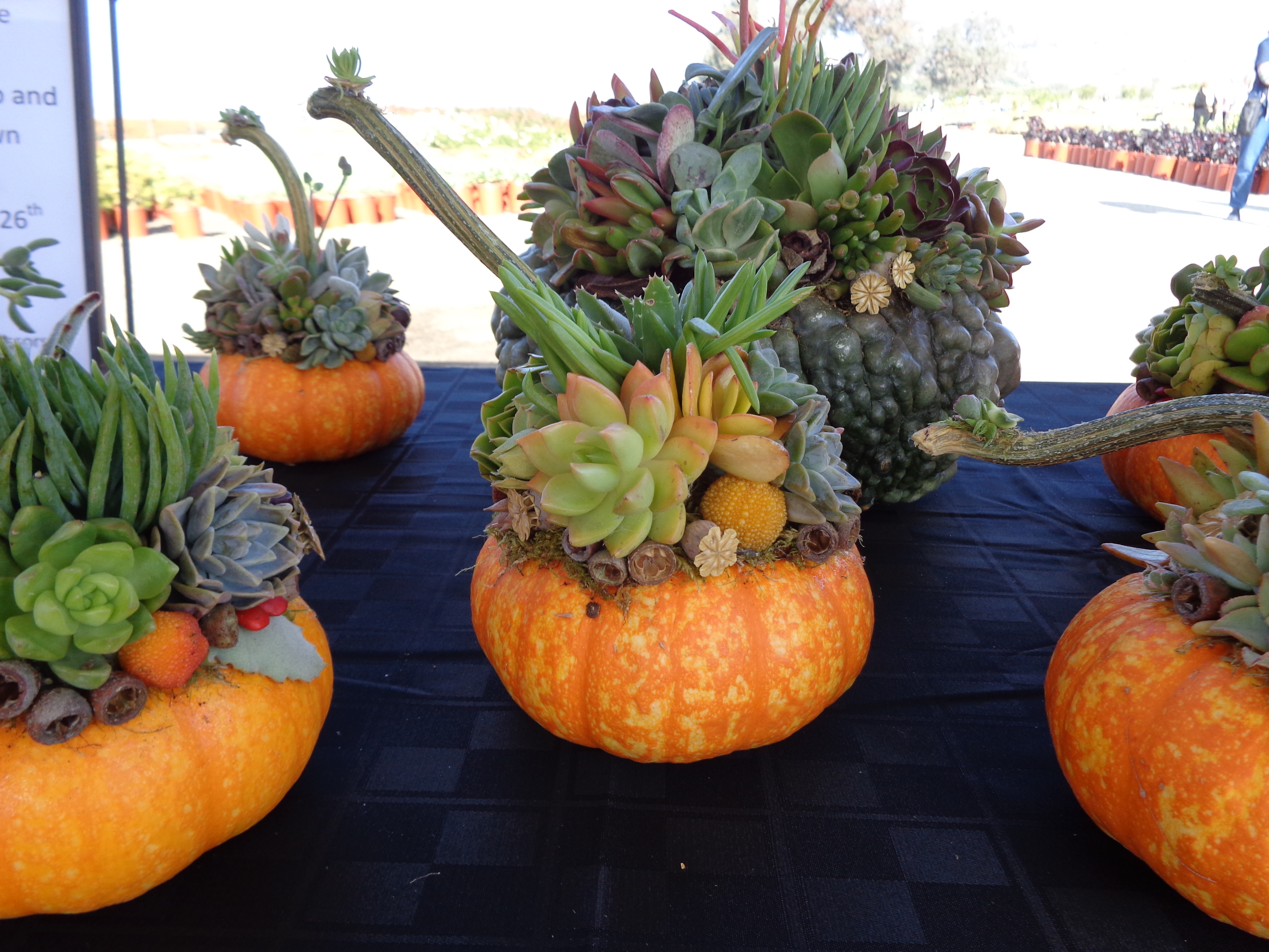 Succulent Topped Pumpkins For Fall Everything Succulent