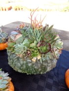 Succulent topped green pumpkin