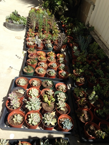 Succulent Starters